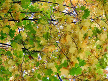 Yellow leaves of a maple tree in the fall Royalty Free Stock Images