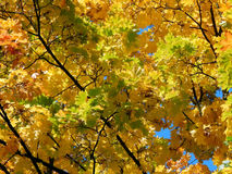 Yellow leaves of a maple tree in the fall Royalty Free Stock Photo