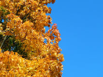 Yellow leaves of a maple tree in the fall Stock Photo