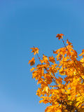 Yellow leaves of marble isolated on blue sky with space for text, fall, autumn Stock Images