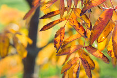 Yellow leaves of mountain ash in the autumn. Bright sunlight Stock Images