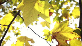 Yellow leaves moving in the wind stock video footage