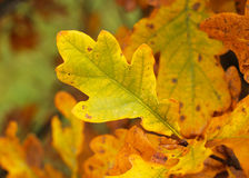 Yellow leaves of oak tree Royalty Free Stock Photos