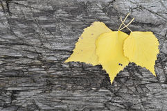 Yellow leaves on the old board. Birch leaves lie on the old board stock image