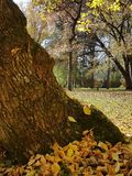 Yellow leaves on the old tree in the park Stock Photo