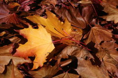 Yellow leaves in a pile royalty free stock photos