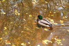 Mallard Drake  Swims on Pond in Autumn. Yellow leaves in the pond water, provide a clue that it`s autumn where this Mallard Drake is enjoying a swim Royalty Free Stock Photo