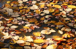 Yellow leaves in puddle Royalty Free Stock Photo