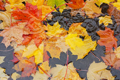 Yellow leaves in a puddle Stock Images