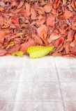 Yellow leaves with red leaves next to the white wall..jpg. Yellow leaves fall with colored walls and red leaves above Stock Images