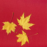 Yellow leaves on red paper Royalty Free Stock Photography