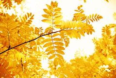 Yellow leaves of a rowan Stock Image