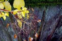 Yellow leaves and seed head of climbing hydrangea against weathered fence. Yellow leaves and seed head of climbing hydrangea against weathered wooden fence. The Stock Photos