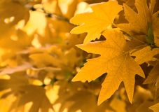 Yellow leaves, shallow focus Stock Image