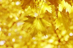 Yellow leaves, shallow focus. Autumn's forest Stock Image