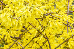 Yellow leaves of the shrub Royalty Free Stock Photos