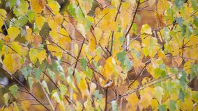 Yellow leaves slightly waving in the autumn wind. In city park, close up panoramic view stock video