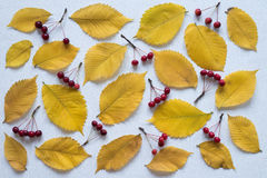 Yellow leaves and small apples rennet on white board Royalty Free Stock Photography