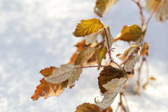 Yellow leaves on snow background Royalty Free Stock Photos