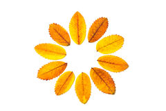 Yellow leaves in solar circle. Form on white background Stock Images