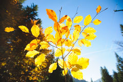 Yellow Leaves in Sun Stock Photo