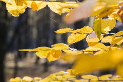 Yellow leaves in sunlight in autumn forest royalty free stock photo