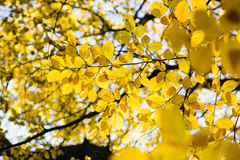 Yellow leaves in sunlight in autumn forest royalty free stock photos