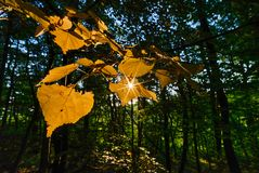 Yellow leaves and sunstars in the forest royalty free stock images