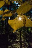 Yellow leaves and sunstars in the forest stock images