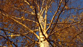 Yellow leaves sway in the wind in the golden autumn. The yellow dry leaves of the birch sway from the wind against the blue clear sky in the golden autumn stock video footage