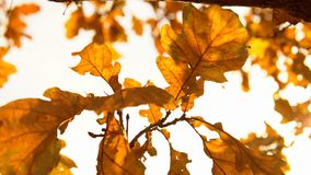 Yellow leaves sway in the wind in the golden autumn. Yellow dry oak leaves waving in the wind against a clear sky in golden autumn, close-up stock video footage