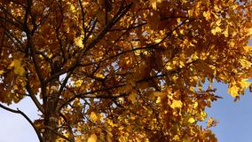 Yellow leaves sway in the wind in the golden autumn. Yellow dry oak leaves sway in the wind against the blue clear sky in the golden autumn stock video footage