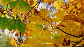 Yellow leaves swaying in the tree stock footage