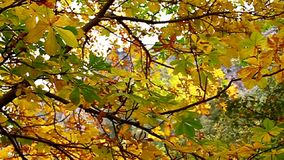 Yellow leaves swaying in the tree stock video footage