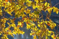 Yellow leaves sycamore illuminated by autumn sun Stock Photo