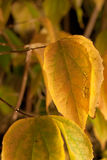 Yellow leaves on tee Royalty Free Stock Images