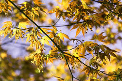 Yellow leaves with texture background. Yellow leaves  with texture background. Great for slides Royalty Free Stock Photo