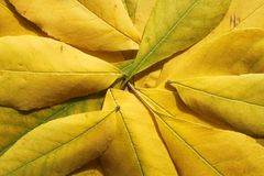 The yellow leaves. There are yellow leaves close-up Royalty Free Stock Image