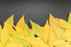 The yellow leaves. There are yellow fallen leaves on a black surface Royalty Free Stock Images