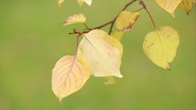 Yellow leaves on a thin twig. Edges of the leaves dry. Close up. Yellow autumn leaves are on the thin branches of the tree, on the leaves of the tree are dry stock video