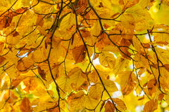 Yellow leaves with tiny twig over sunlight. Background with autu Royalty Free Stock Photo