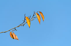 Yellow leaves of a tree on Stock Images