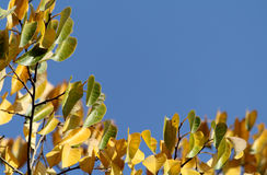 Yellow leaves of a tree on Royalty Free Stock Image
