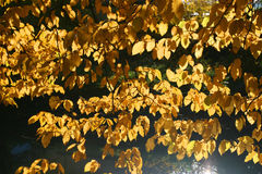 Yellow leaves on the tree Royalty Free Stock Photography