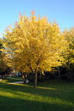 Yellow leaves tree Stock Photography