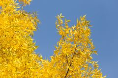 Yellow leaves on the tree against the blue sky.  Stock Image