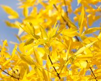 Yellow leaves on the tree against the blue sky.  Royalty Free Stock Photos