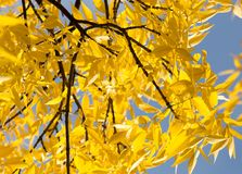 Yellow leaves on the tree against the blue sky.  Royalty Free Stock Photography