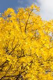 Yellow leaves on the tree against the blue sky.  Stock Photo