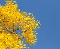 Yellow leaves on the tree against the blue sky.  Royalty Free Stock Photo